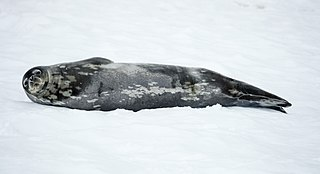 Weddell seal species of mammal