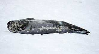 Weddell seal - Image: Mikkelsen Harbour 2016 Trinity Island (D'Hainaut Island)–Weddell seal (Leptonychotes weddellii) 03