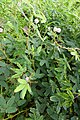 Mimosa pudica à São Tomé (4).jpg
