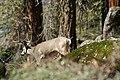 Mineral King, CA, Buck Deer, 2006 - panoramio.jpg