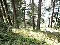 Miran Jani Forest Track - panoramio.jpg