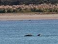 Moko the dolphin at Bay of Plenty.jpg