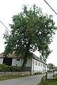 Mokrá Lhota, památný strom.jpg