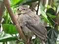Molotrhus bonariensis (Chamón parásito) - Pichón (14376795582).jpg
