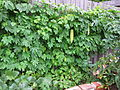 Momordica charantia (Bitter Melon) vine on a fence.jpg