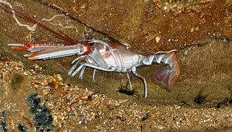 Nephrops norvegicus - A Norway lobster in its burrow, at the Oceanographic Museum in Monaco