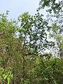 Morinda pubescens07.JPG