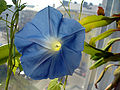 Morning Glory Flower.jpg