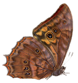 Morpho theseus justitiae2 - BCA.png