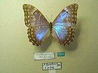 Morpholympharis.JPG