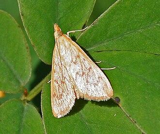 Crambidae - Image: Moth from Spilomelinae under Crambidae W IMG 2758