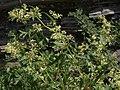 Mountain lace, Koenigia phytolaccifolia (22929349490).jpg