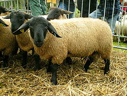 Image illustrative de l'article Suffolk (race ovine)