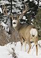 Mule deer buck behind a myatt (5489215407).jpg
