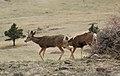 Mule deer graze.jpg