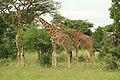 Murchison Falls Giraffe.JPG