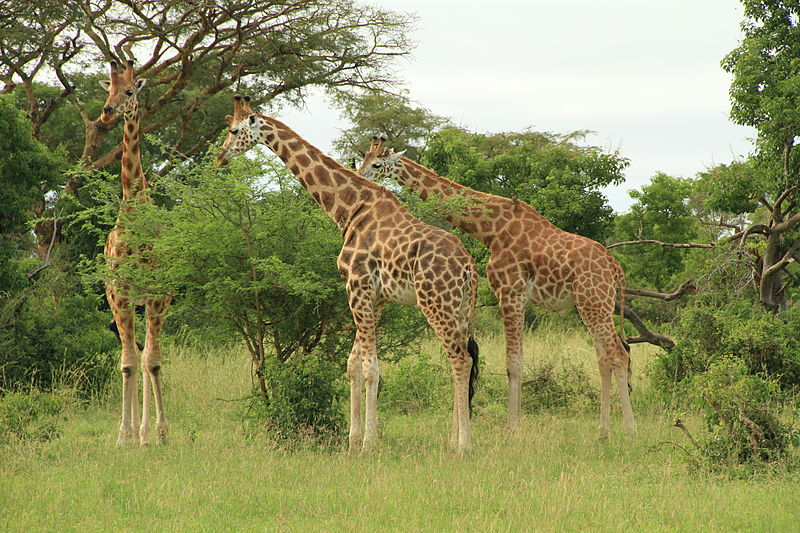 File:Murchison Falls Giraffe.JPG
