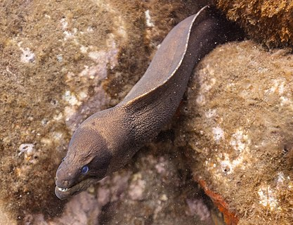Brown moray eel (Gymnothorax unicolor) found in Madeira, Portugal.