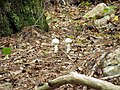 Mushrooms! Mill Trail Umstead NC SP 4292 (6641118413) (2).jpg