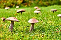 Mushrooms Of Finland (174072805).jpeg