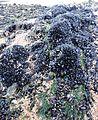Mussels on rock.JPG