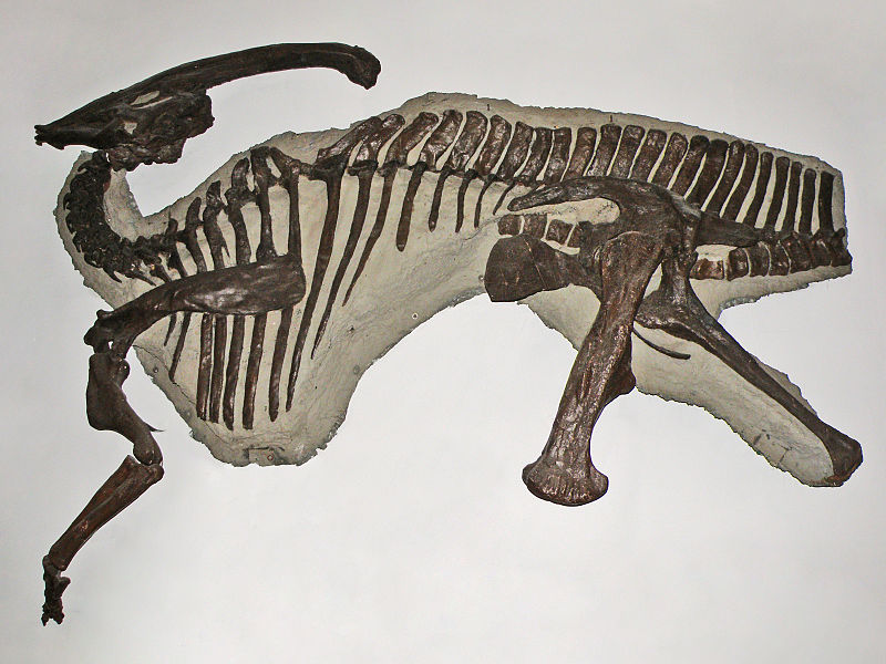 File:Muzeum Ewolucji PAN - Parasaurolophus walkeri (odlew szkieletu).JPG