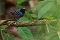 Myrmoborus myotherinus - Black-faced Antbird.jpg