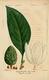 NAS-051 Magnolia grandiflora.png