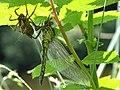 NSG Teichfledermausgewässer, Metamorphose einer Libelle Bild 3.jpg
