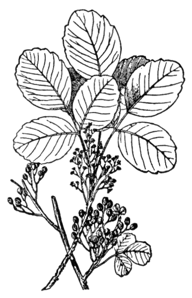 File:NSRW Poison-Oak.png