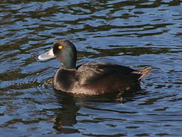 NZ Scaup 01.jpg