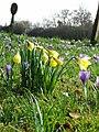 Native Daffodils - geograph.org.uk - 142720.jpg