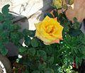 Natural yellow Rose.jpg