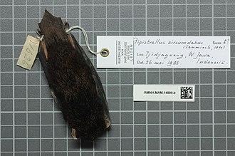 Black-gilded pipistrelle - Image: Naturalis Biodiversity Center RMNH.MAM.14899.b dor Arielulus circumdatus skin