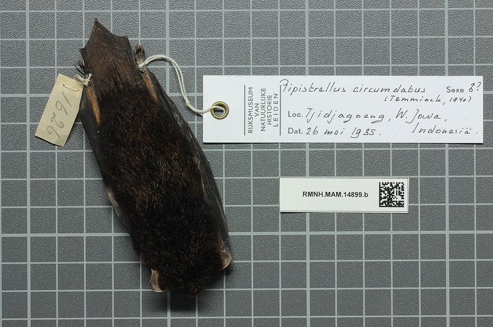 Naturalis Biodiversity Center - RMNH.MAM.14899.b dor - Arielulus circumdatus - skin.jpeg