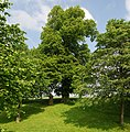 Naturdenkmal Göbeln Linde im Kreis Soest bei Drewer (zu Rüthen) an der Feierstraße.JPG