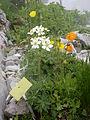 Naye-Alpengarten 12.JPG