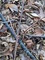Nectria cinnabarina 104393550.jpg