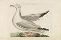 Nederlandsche vogelen (KB) - Chroicocephalus ridibundus (281pl).jpg