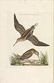 Nederlandsche vogelen (KB) - Lymnocryptes minimus (237pl).jpg