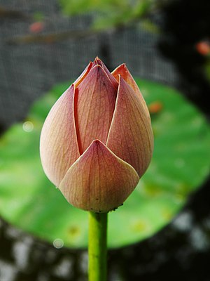 Garden pond - Bud of Nelumbo nucifera, a common aquatic plant.