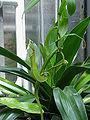 Nepenthes reinwardtiana3.jpg