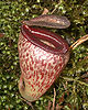 Nepenthes tenuis5.jpg