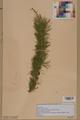 Neuchâtel Herbarium - Larix decidua - NEU000003672.tif