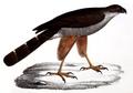 Neue Wirbelthiere zu der Fauna von Abyssinien gehörig (1835) Accipiter tachiro.png