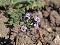 Nevada gilia, Gilia brecciarum subsp. brecciarum (49093901786).jpg