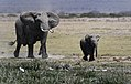 New 6776 Amboseli elephants JF.jpg