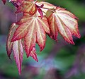 New Acer Leaves (4548095740).jpg