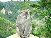Ngarai Sianok sumatran monkey.jpg