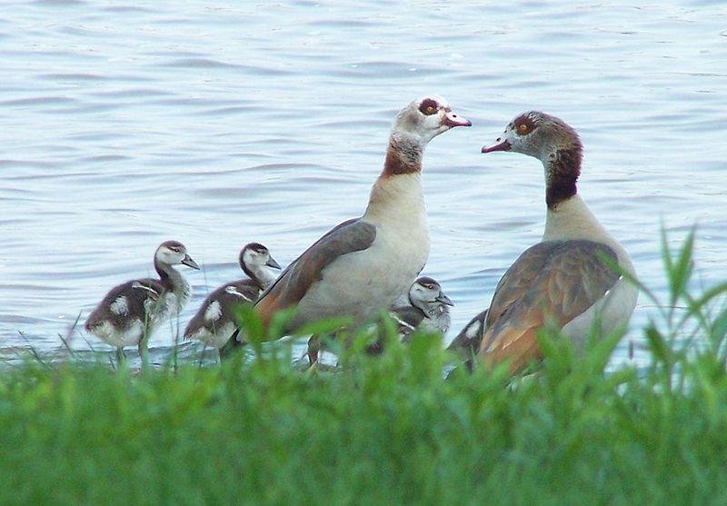 Datei:Nilgänse mit Jungen am Rheinufer bei Kaltenengers.jpg